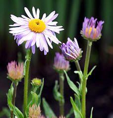 "Flores ornamentales: Aster ""Napsbury"" (Aster yunnanensis ""Napsbury"")"