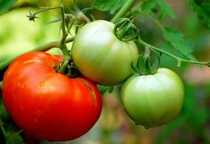 Why supermarket tomatoes look great but taste bland - good article for genetic engineering or changing plants