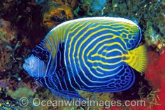 Adolescent Emperor Angelfish Pomacanthus imperator