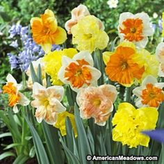 Butterfly Daffodil Bulbs Mix, Narcissus - Fall Bulbs from American Meadows