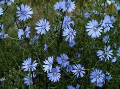 chicory, my favorite wild flower!