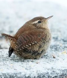 """""""Frosty Wren"""" Photo (saved with permission) by: John Gawthrope, British Wildlif. - """"Frosty Wren"""" Photo (saved with permission) by: John Gawthrope, British Wildlife Photography - Wildlife Photography, Animal Photography, Beautiful Birds, Animals Beautiful, British Wildlife, Animal Magic, Rare Birds, Tier Fotos, Bird Pictures"""