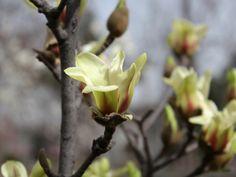 Magnolia (25)