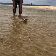 He can swimm - Corgi Union {hashtags Cute Animal Videos, Cute Animal Pictures, Cute Little Animals, Cute Funny Animals, Cute Corgi, Cute Puppies, Funny Animal Memes, Funny Dogs, Animals Beautiful