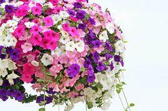 schöne Ideen für Balkonbepflanzung, viele Petunien, verschiedene Farben