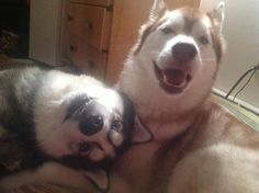 Always one silly one in the group Alaskan Husky dog Funny Animal Pictures, Dog Pictures, Cute Pictures, Funny Animals, Cute Animals, Baby Animals, Wild Animals, Love My Dog, Puppy Love