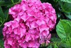hydrangea-macrophylla-merritts-supreme-red Hydrangea Macrophylla, Perennials, Supreme, Nursery, Rose, Flowers, Plants, Pink, Baby Room