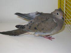 Dove - Mourning Birds, Animals, Animaux, Bird, Animal, Animales, Animais