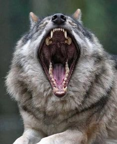 Respect the Wolf , but I thing he has a little red tonsils, right ?