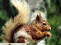 Nice piebald squirrel
