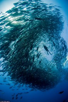 The formation created by the school of fish made it look like the divers were swimming through an underwater tornado