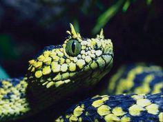Usambara eyelash viper (Atheris ceratophora)