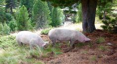 Du musst ein Schwein sein in dieser Welt, Waldschwein