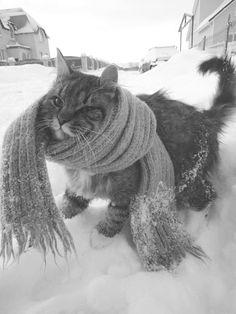 SCARF CAT