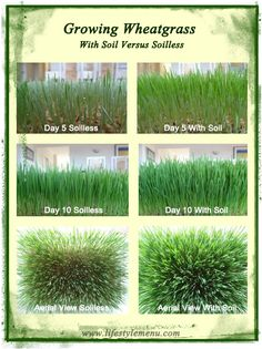 Growing wheatgrass with soil versus without. The results are dramatic!