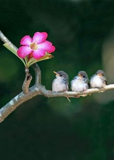 The very best of Rabbit Carrier's pins - 3 Little Birds♥️ Cute small birds on tree branch looking at pink flower.Image provided by Getty Images. Cute Birds, Small Birds, Pretty Birds, Beautiful Birds, Animals Beautiful, Funny Birds, Beautiful Scenery, Beautiful Babies, Three Little Birds