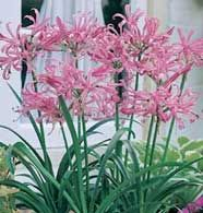 Nerine is pretty but not hardy for Zone 3.  (Sadly, many things aren't.)