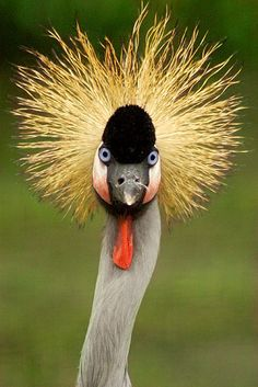 East African Crowned Crane by sarah080102, via http://www.flickr.com/photos/14965862@N02/2053625610/