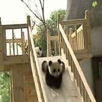 Cute Panda Bears Playing
