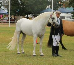 Connemara Stallion Gneevebrack Storm at Henty Show NSW 2015