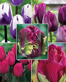 Growers of Dutch Bulbs & Perennials since 1893 Purple Tulips, Tulips Flowers, Bulb Flowers, Purple Garden, Hydrangea, Perennials, Flower Power, Rose, Plants