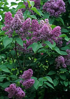 Syringa vulgaris, common lilac -  To encourage big flowers and to keep the plant's size in check, prune out a third of the branches each year. Full sun, hardy. Height 700cm, spread 700cm