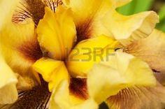 yellow iris flower: Yellow gentle petals of an iris, flower core Stock Photo