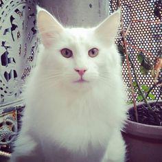 Sakeenas LoveStoned  Love my white cats <3