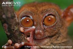 Tarsius syrichta (nártoun filipínský, Tarsiidae)