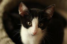 Adorable little tuxie! Foster Kittens, Tuxedo Cats, Tuxedos, The Fosters, Animals, Animales, Animaux, Tuxedo, Animal