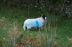 blue hair (sheep)