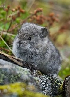 This is what a baby pika looks like. :)