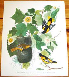 LARGE Audubon Folio Fine Art Print Baltimore Oriole 30 Great Birds of America