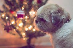 #Brazil #Brasil #christmas #natal #instadog #instadogs #dog