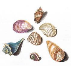 "Sea Shell Watercolor Painting, Original, Framed Matted, 13"" x 16"" ($25) ❤ liked on Polyvore"