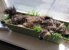 awwww-cute:  I planted oat grass for the cat to snack on, she decided it makes a good bed. (x-post from r/cats) (Source: http://ift.tt/1I1sXiQ)