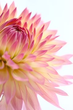 iheartloons:    Pink Dahlia