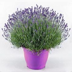 Uykusuzluğa İyi Gelen Çiçekler | Bitkilog
