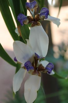 Walking Iris Blooms