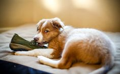 Dog Eating Shoe – HD Love Wallpaper