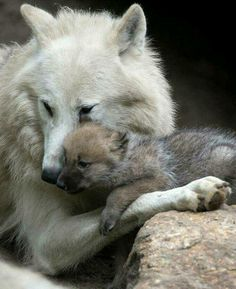 #wolf #wolves #wolfpup #wolfpuppies #wolflove #whitewolf #wolfhug #pup #puppies #wolfpack #woods #forest #woodland