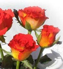 Sweet ruffly orange rose