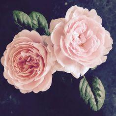 Beautiful British roses x Stella