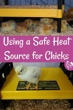 Baby chicks easily get cold, but traditional heat sources can be dangerous. I explain why and assess two of the safest brooder lamps available. Food For Chickens, Raising Meat Chickens, Raising Ducks, Fancy Chickens, Raising Backyard Chickens, Brooder Box, Chicken Facts, Backyard Coop, Hatching Chickens
