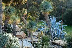 Le domaine du Rayol en février. Dans le jardin américain aride : dominé par les grands Yucca rostrata avec agaves, cactées, autre Yucca...<br /> <br /> (mention obligatoire du nom du jardin & pas d'usage publicitaire sans autorisation préalable)