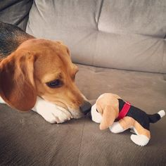 """""""Meet my mini-me Sophie Everything you need to know about beagles"""