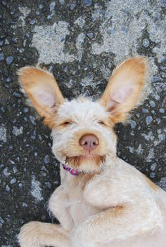 Phoebe Fiera,  Spinone puppy and my mate isn't she cute!  Love those ears. Millicent