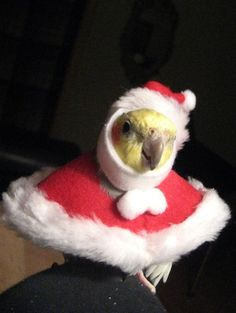 Cockatiel Santa - so cute!!HAHA! I wonder if Tweety or Polly would agree to this...