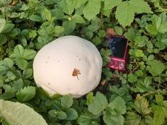 Puffball Mushroom, The Creator, Stuffed Mushrooms, Food, Label, River, Search, Random, Photos
