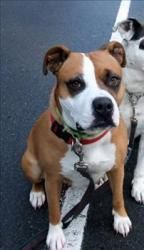 Fawn is an adoptable Pit Bull Terrier Dog in Duncan, BC. Fawn is our 'maybelline eyeliner cover girl'... she is an active 6-7yr old pitbull female, active, playful, affectionate, and adores people. Sh...